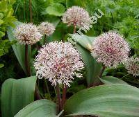Allium karataviense Regel