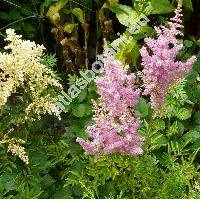 Astilbe x arendsii Arends