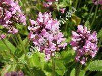 Betonica officinalis L. (Stachys officinalis (L.) Trevisan)
