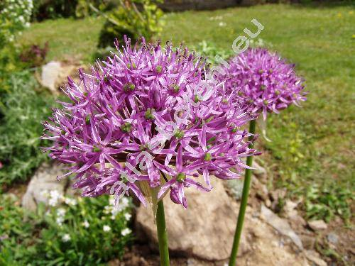 Allium aflatunense 'Purple Sensation' (Allium holandicum Fritsch)