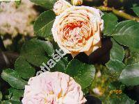 Rosa 'Ginger Syllabub'