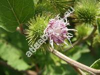 Arctium minus (Hill) Bernh. (Lappa minor Hill, Lappa bardana Moench subsp. minor (Hill) Čelak.,)