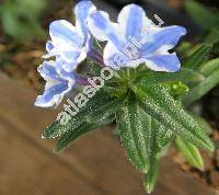 Lithodora diffusa 'Heavenly Blue' (Lithodora diffusa Johnst., Lithospermum diffusum Lag., Lithospermum prostratum Lois.)