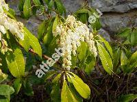 Pieris japonica (Andromeda japonica (Thunb.))