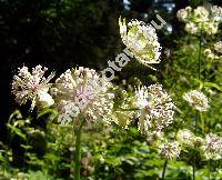 Astrantia major L.