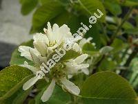 Amelanchier ovalis Med. (Mespilus amelanchier L., Aronia rotundifolia Pers., Sorbus amelanchier (L.) Crant., Amelanchier rotundifolia Dum., Amelanchier  vulgaris Moench)