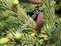 Picea mariana (Mill.) Britton (Abies denticulata Michx. , Abies nigra (Ait.) Poir.)