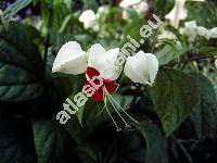 Clerodendrum thomsoniae Balf. (Clerodendrom)
