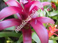 Guzmania 'Carol Cloud Bailey'