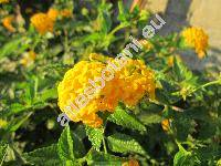 Lantana 'New Gold' (Libora)