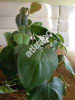 Philodendron scandens Koch et Sello (Philodendron oxycardium Schott, Philodendron hederacum Schott)