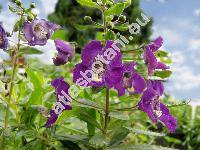 Angelonia angustifolia (Angelonia angustifolia Benth.)