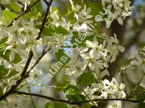 Amelanchier laevis Weig. (Mespilus, Aronia, Sorbus, Amelanchier canadensis Gray non Med.)