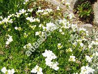 Arabis scopoliana Boiss. (Draba, Scopoli, Erysimum)