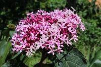 Clerodendrum bungei Steud. (Clerodendrom foetidum Bunge)