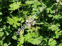 Macleaya cordata (Willd.) Br. (Bocconia cordata Willd., Bocconia japonica André)