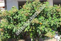 Cotoneaster tomentosus Lindl. (Cotoneaster tomentosus (Ait.) Lindl., Cotoneaster nebrodensis (Guss.) Koch, Cotoneaster parnassicus Boiss. et Heldr.)
