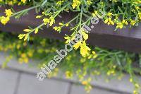 Cytisus 'All Gold'
