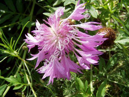 Centaurea dealbata Willd. (Psephellus dealbatus (Willd.) Koch)