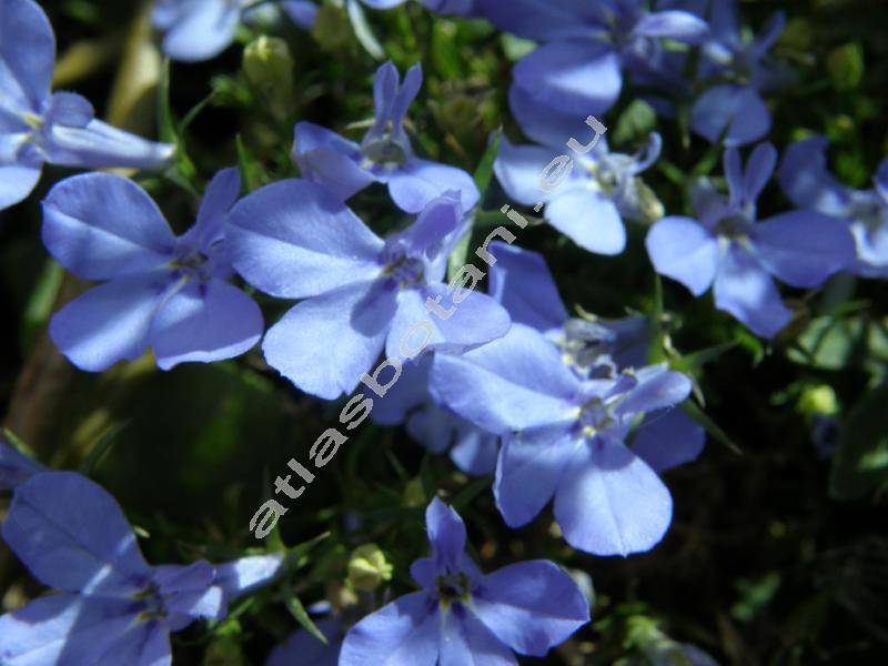 Lobelia Erinus L Atlas Květin